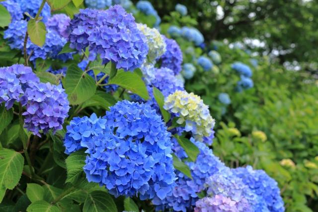 香南市 紫陽花